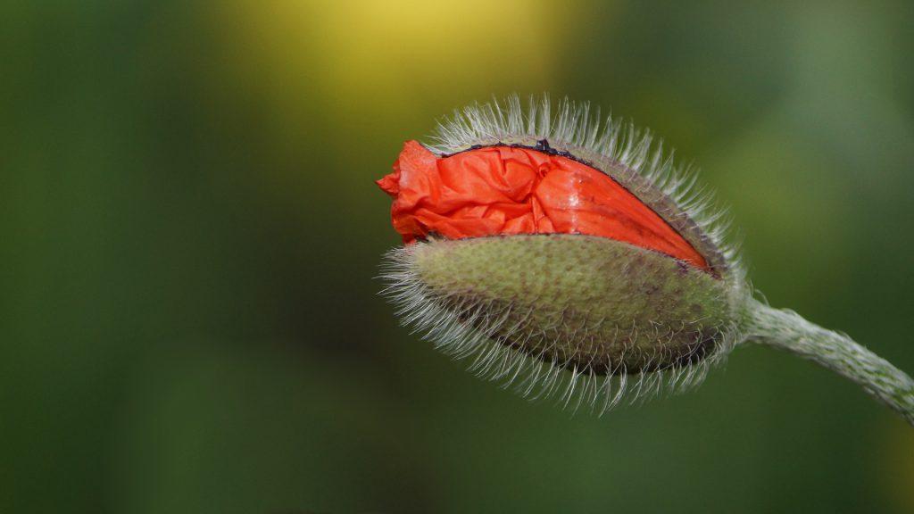 Een klaproos in de knop. Een klaproos kan zich jaren verstoppen voordat deze begint te groeien. Verstop jij jezelf ook nog? Heb respect voor je afkomst, maak ruimte voor de ander en jezelf, en groei! Je mag er zijn. Respect is zo belangrijk. Echt-leven coachingspraktijk Krimpen aan den IJssel