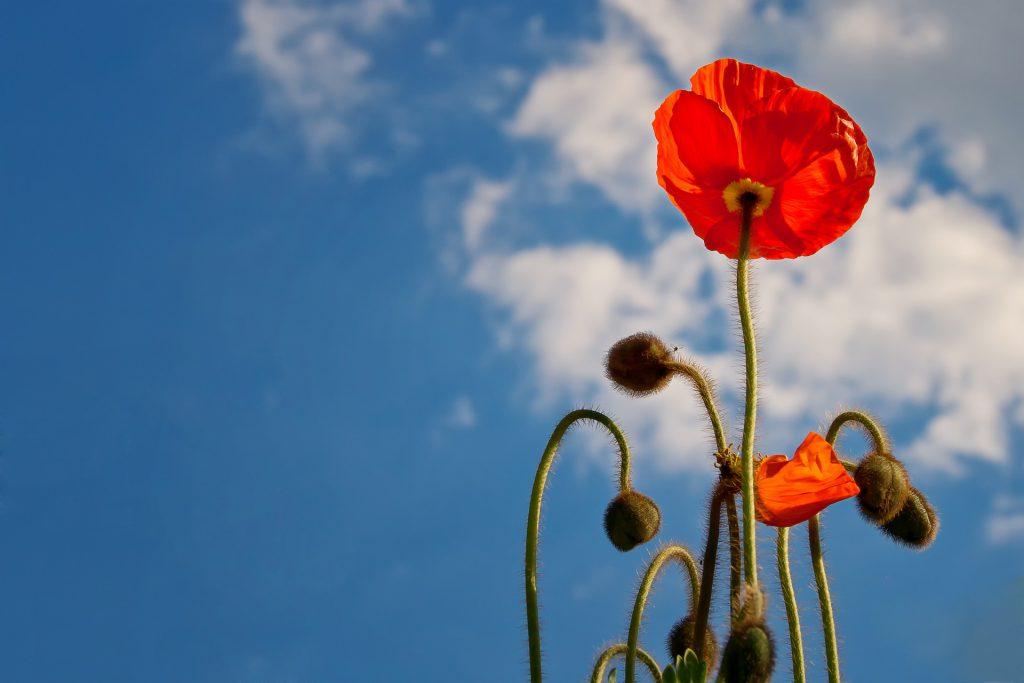 Klaprozen die bloeien tegen een prachtige blauwe lucht. Het deed mij denken aan het opbloeien door het doorbreken van patronen