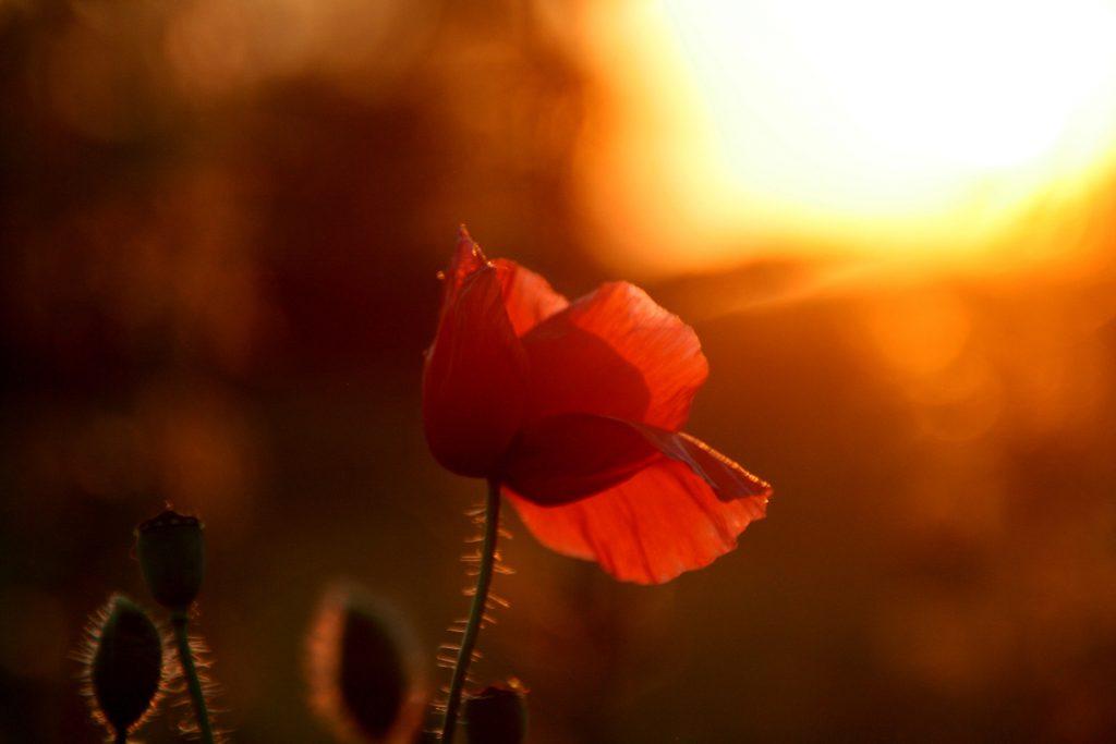 Een klaproos die zich draait naar het zonlicht. Alleen daardoor kan hij groeien en bloeien. Vergeven zorgt dat je weer in het licht kan staan.