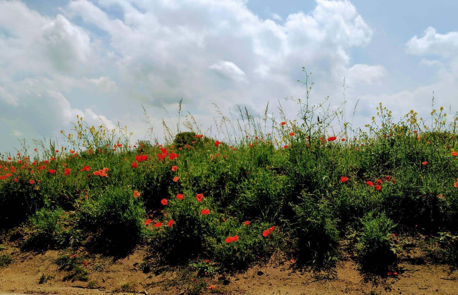 Bloeiende klaprozen in de duinen, met donkere wolken. Ze bloeien, zonder angst, precies zoals ze gemaakt zijn!