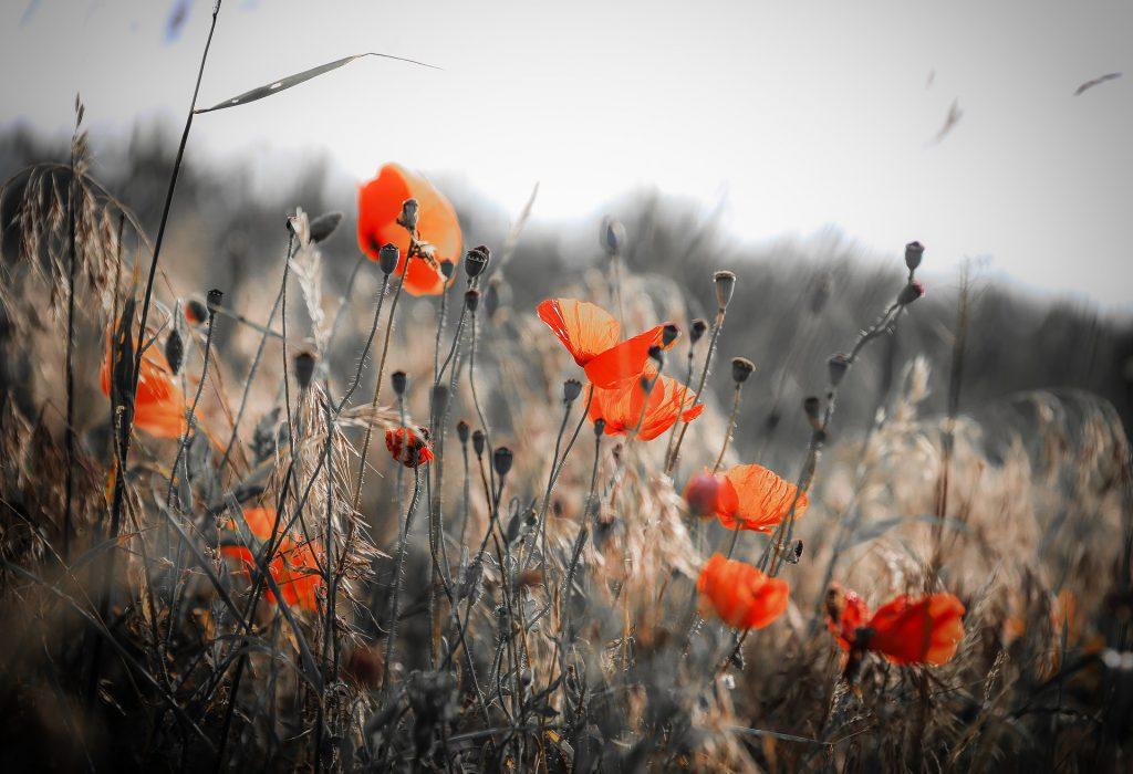 Omarm jouw kleur met liefde. Net zoals deze klaprozen zich niet laten kleuren door hun omgeving. Geef jezelf de ruimte om te mogen groeien!