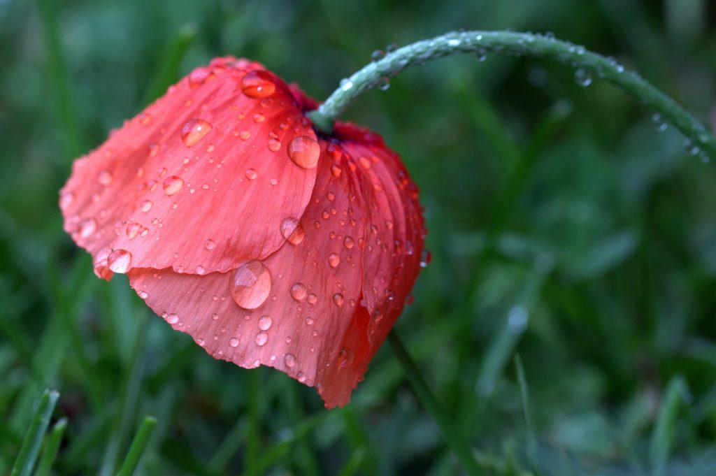 Pak jouw verantwoordelijkheid op en geef jezelf wat jij nodig hebt om te bloeien. Net zoals deze klaproos verfrist door de regen. Klaar voor de zon om weer op te drogen en om te stralen.